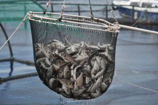 Bruxelles, 18.08.2014. - Europska unija u ponedjeljak je ukinula jednogodišnju zabranu uvoza skuša i haringa s Farskih otoka, èime je završen jednogodišnji spor oko pretjeranog izlova tih riba na sjevernom Atlantiku. Arhivska fotografija od 12.9.2013. godine prikazuje ulov ribe. foto FaH/ mm