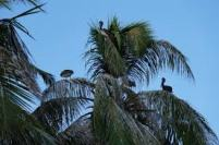 pelikans-porvenir
